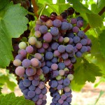 IMGP0548 - wine grapes rutherglen by RaeA, on Flickr