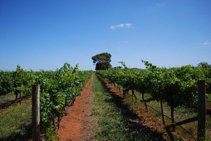 Grapevines - Wynns Coonawarra by avlxyz, on Flickr