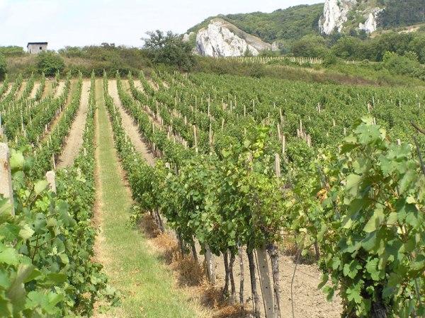 morawy winnice